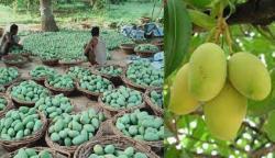 سندھ میں آم کی مجموعی پیداوار میں کمی کا خدشہ